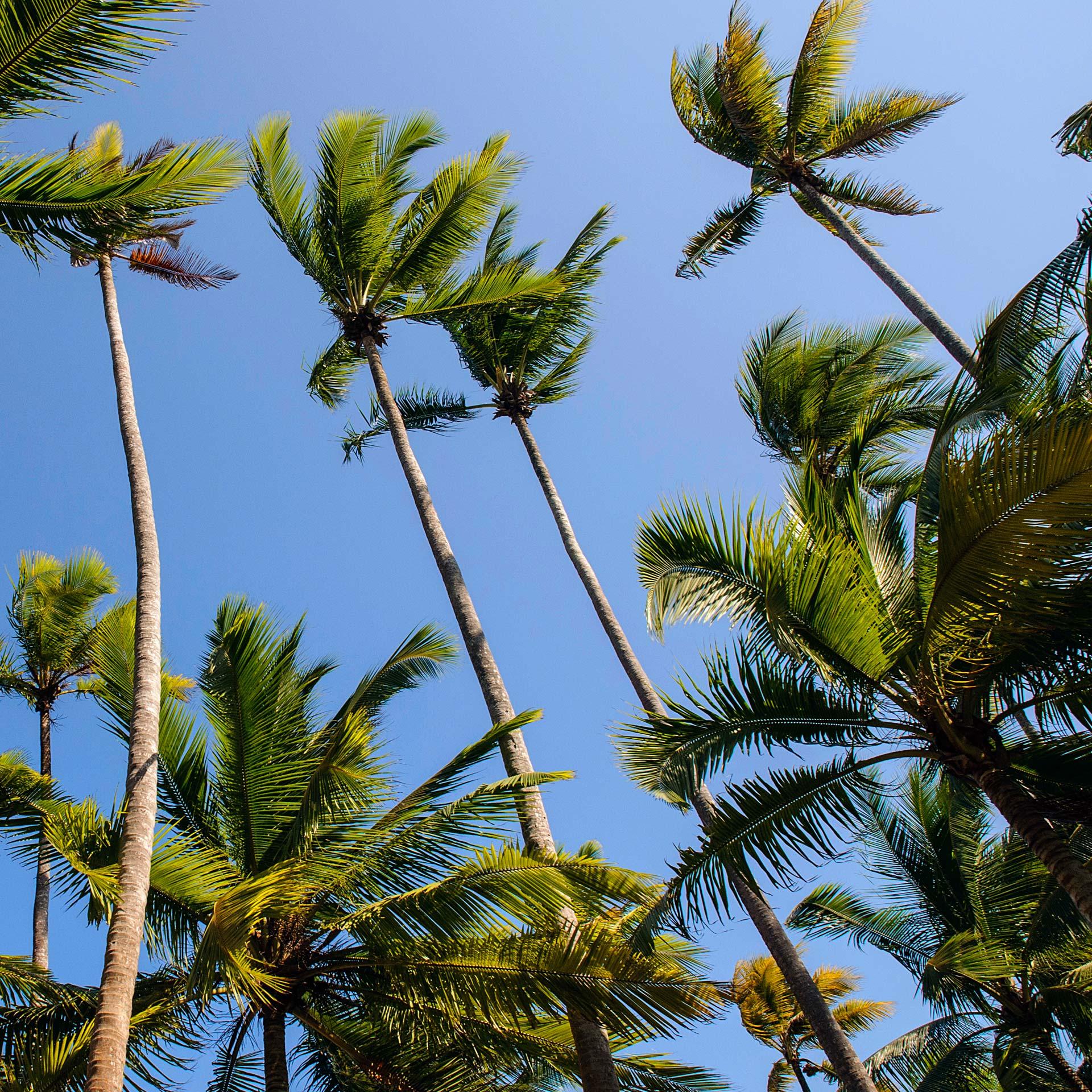 kingsland-linassi-pearl-island-palms